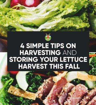 4-Simple-Tips-on-Harvesting-and-Storing-Your-Lettuce-Harvest-This-Fall-PIN