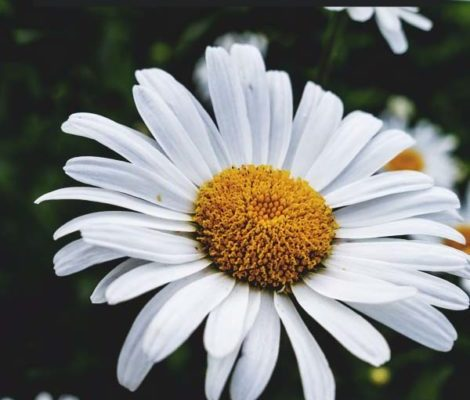 Growing-Chamomile-The-Complete-Guide-to-Plant-Grow-and-Harvest-Chamomile-PIN-470x800