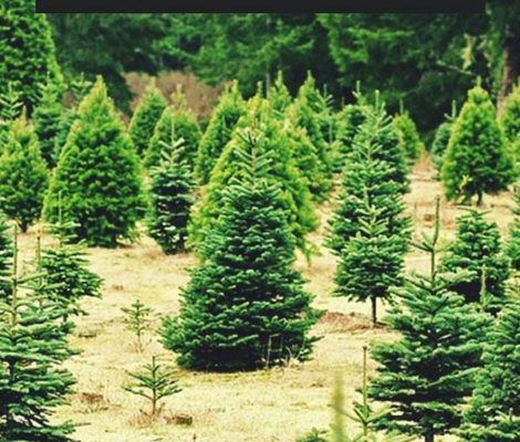 Growing-Christmas-Trees-How-to-Grow-Care-for-and-Harvest-Christmas-Trees-PIN-470x800
