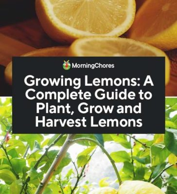 Growing-Lemons-A-Complete-Guide-to-Plant-Grow-and-Harvest-Lemons-PIN-364x800