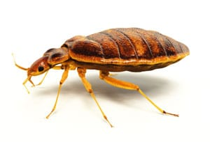 bedbug-diatomaceous-earth-bug-killer