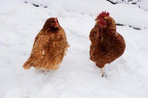 chicken-1911144_1280_-300x199