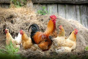 chickens-300x201