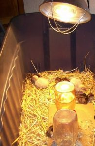 chickens-heat-lamp-195x300