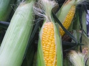 corn-1615021_1280-300x222