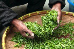 green-tea-leaves-300x200