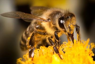honeybees-2-redborbit-400x269