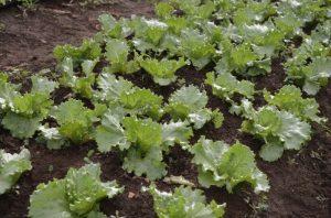 lettuce-300x198