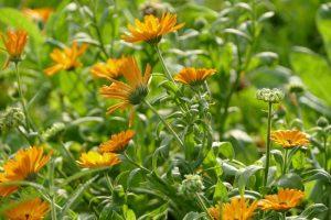 marigold-2874472_1280-300x200