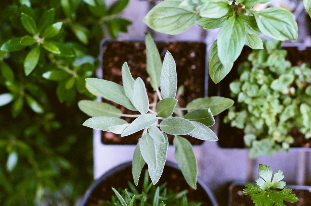 Sage plant grown from seed