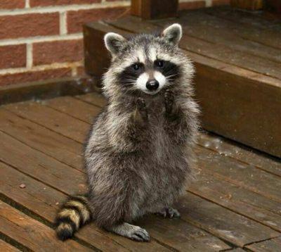 oreo-the-raccoon-movie-star-400x358