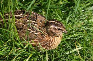 quail-354040_1280-300x195