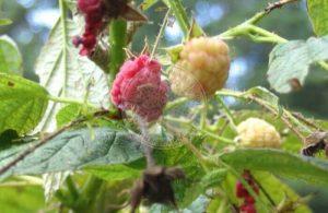worm-on-raspberry-1-300x195